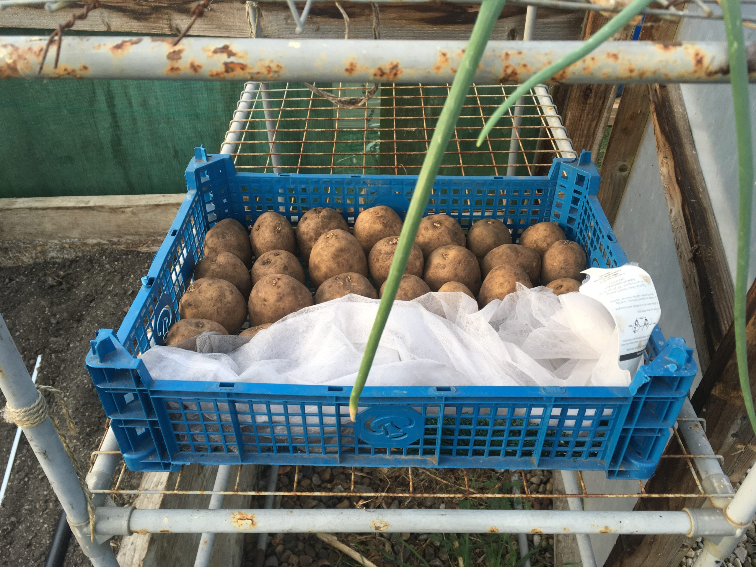 First Early spuds 'chitting'